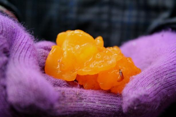gummy fungus