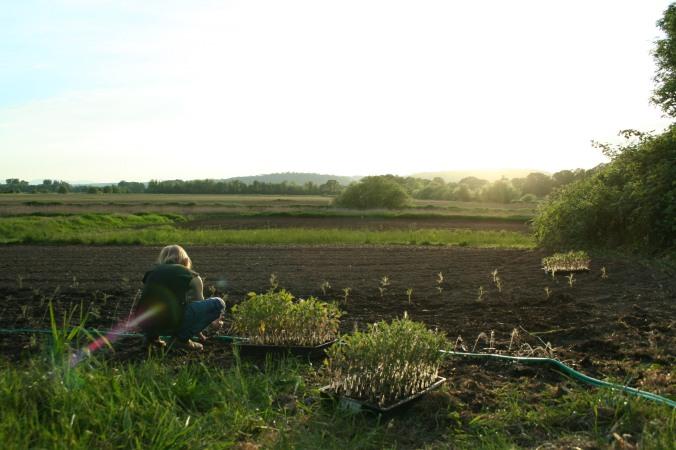 tomato planting, farming, family, csa