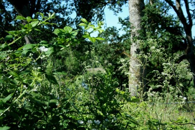 backberries, hemlock, weeds, farm
