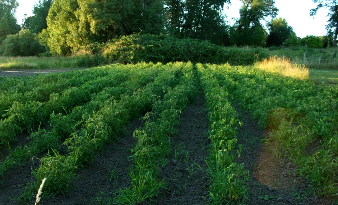 tomatoes, farming, farm, csa, organic farming