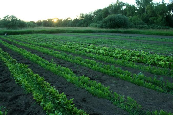 carrots, beets, lettuces, succession planting, farm, farming