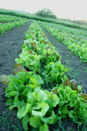 salad mix, lettuce, farm, farming