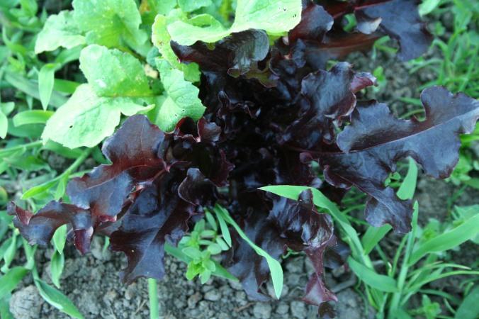 lettuce, field, farm, farming
