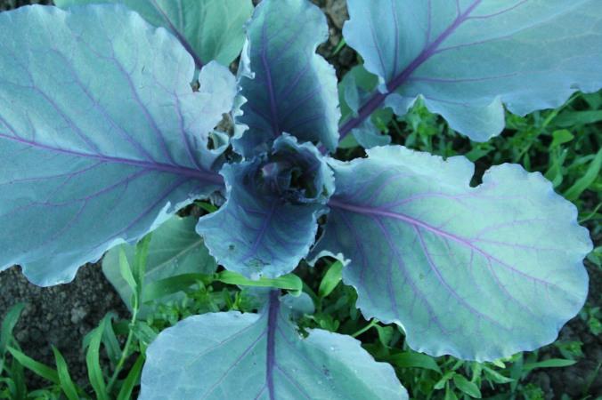 cabbage, farming, farm