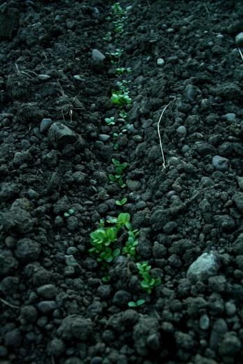 sprouts, succession planting, farm, farming