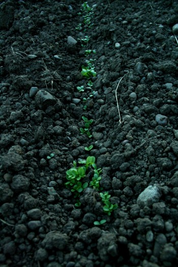 sprouts, succession planting, farm, farming