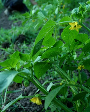 tomatillos, farm, farming