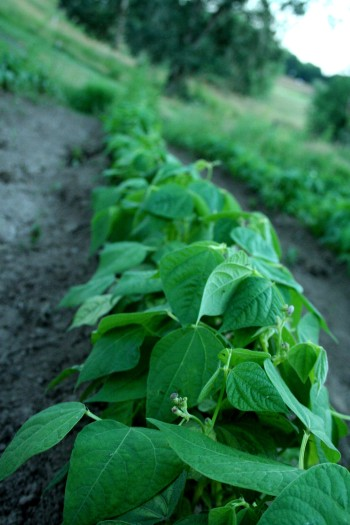 green beans, farming, farm