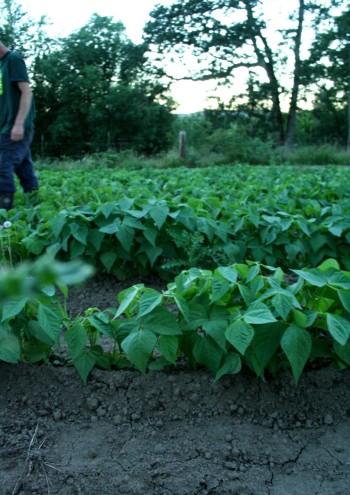 love, farming, farmer, green beans, farm