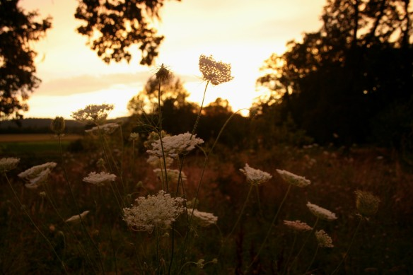 sunset, queen anne's lace, farm, farming, seasons, august