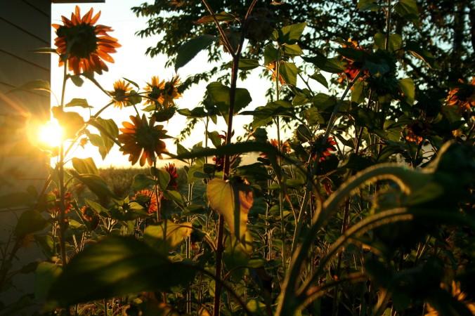 sunrise, sunflowers, farm, august, end of summer