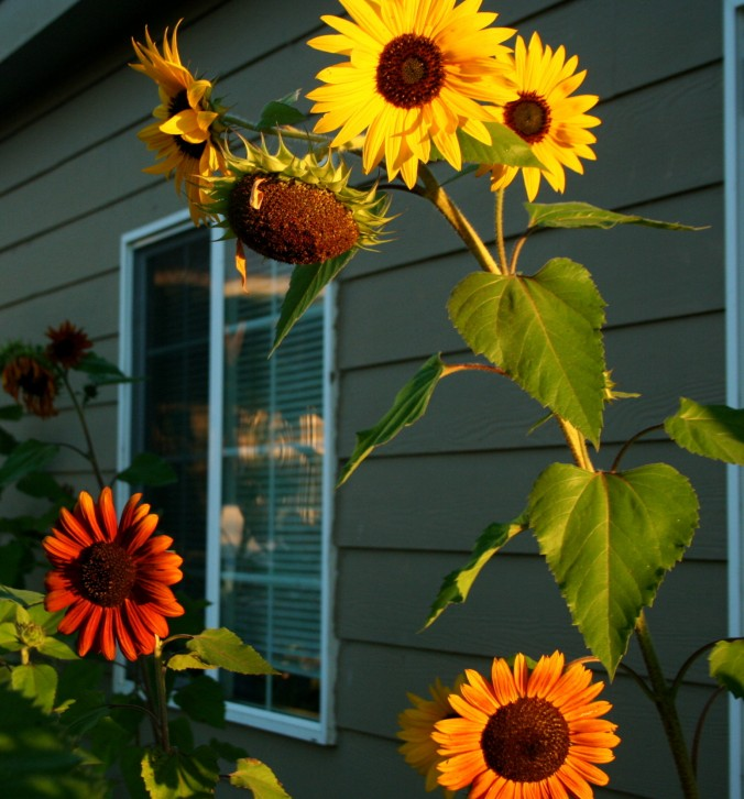 sunflowers, sunrise, end of summer, autumn, seasons
