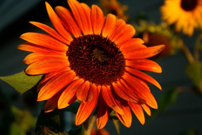 sunflower, seasons, autumn, end of summer, august, farm