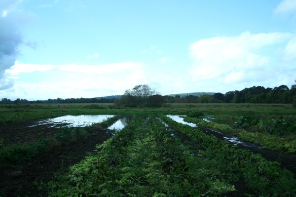 farm, farming, wetland, flooded veggies