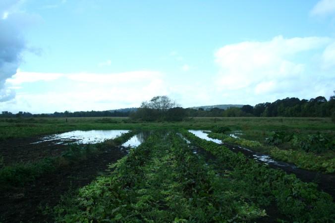 farm, farming, wetland, flooded veggies