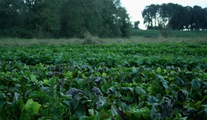 field of greens