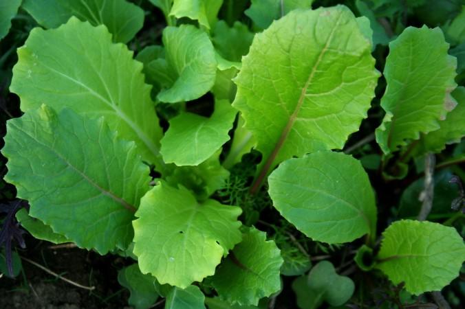 braising mix, greenhouse, farm, farming, spring