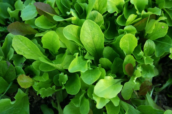 salad mix, baby lettuce, spring, greenhouse, farm, farming