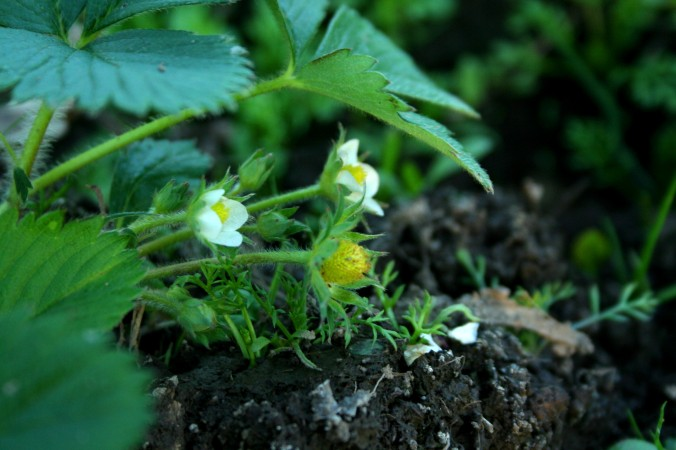 strawberry, spring, plant, greenhouse, farm, farming