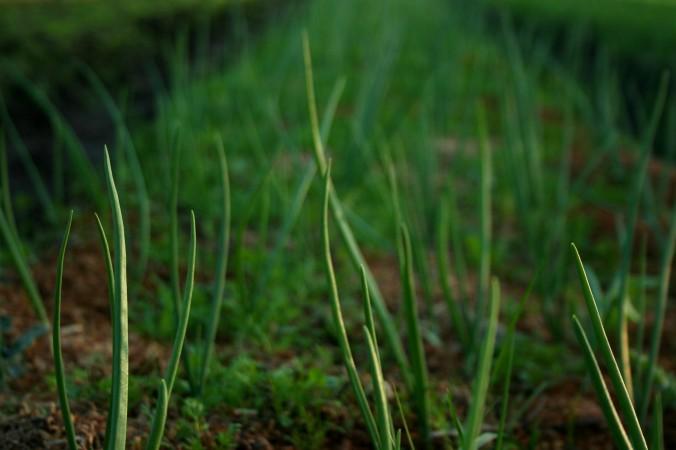 green onions, farm, farming, greenhouse, spring, seasonal eating